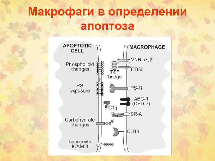 Макрофаги в определении апоптоза
