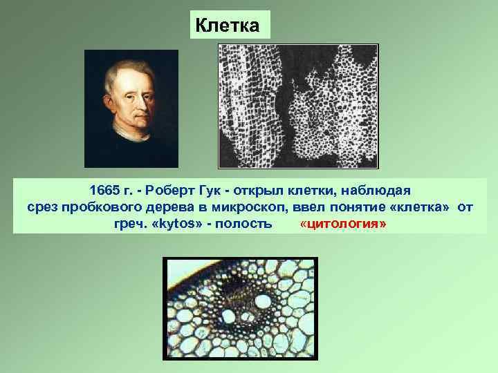 Клетка 1665 г. - Роберт Гук - открыл клетки, наблюдая срез пробкового дерева в