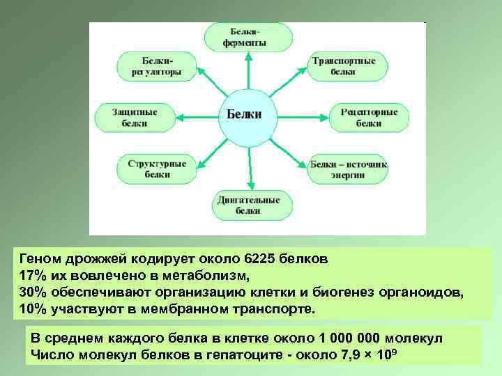 Геном дрожжей кодирует около 6225 белков 17% их вовлечено в метаболизм, 30% обеспечивают организацию