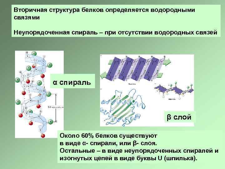 Вторичная структура белков определяется водородными связями Неупорядоченная спираль – при отсутствии водородных связей α