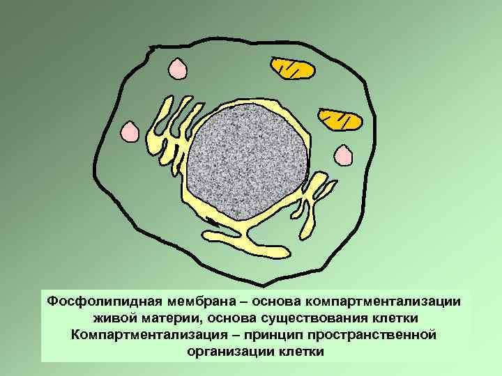 Фосфолипидная мембрана – основа компартментализации живой материи, основа существования клетки Компартментализация – принцип пространственной