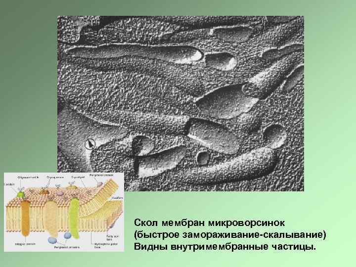 Скол мембран микроворсинок (быстрое замораживание-скалывание) Видны внутримембранные частицы.