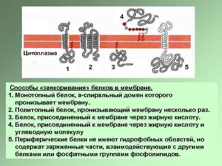 4 Цитоплазма 1 2 3 5 Способы «заякоривания» белков в мембране. 1. Монотопный белок,