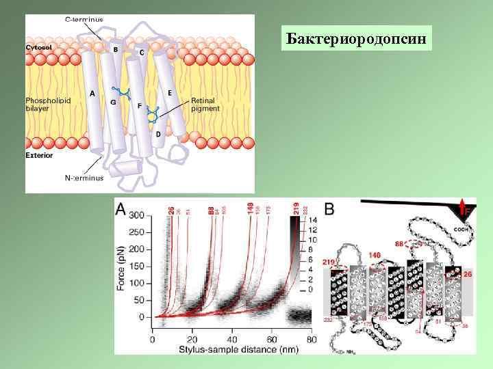 Бактериородопсин