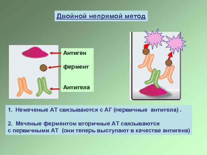 Двойной непрямой метод Антиген фермент Антитела 1. Немеченые АТ связываются с АГ (первичные антитела).