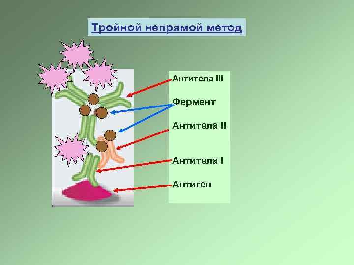 Тройной непрямой метод Антитела III Фермент Антитела II Антитела I Антиген