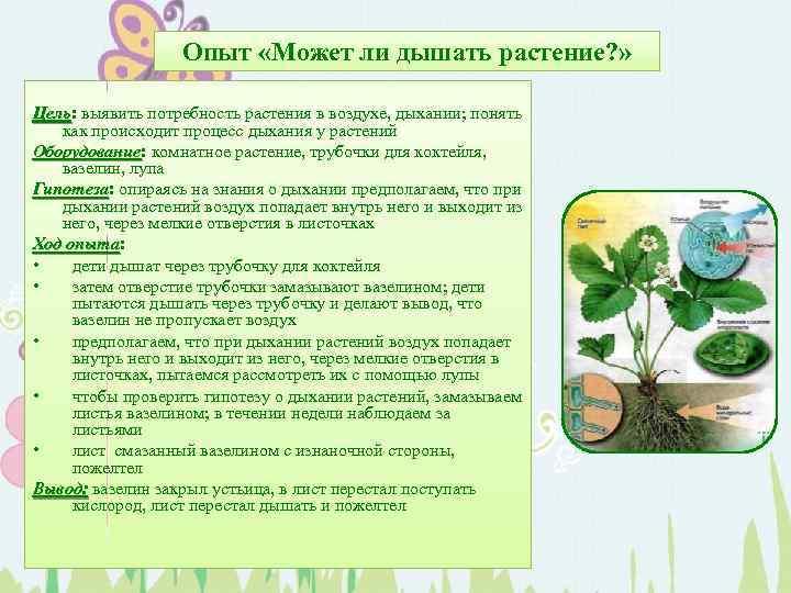 Опыт «Может ли дышать растение? » Цель: выявить потребность растения в воздухе, дыхании; понять
