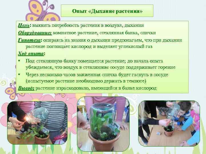 Опыт «Дыхание растения» Цель: выявить потребность растения в воздухе, дыхании Цель Оборудование: комнатное растение,