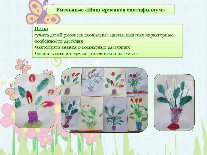 Рисование «Наш красавец спатифиллум» Цель: • учить детей рисовать комнатные цветы, выделяя характерные особенности