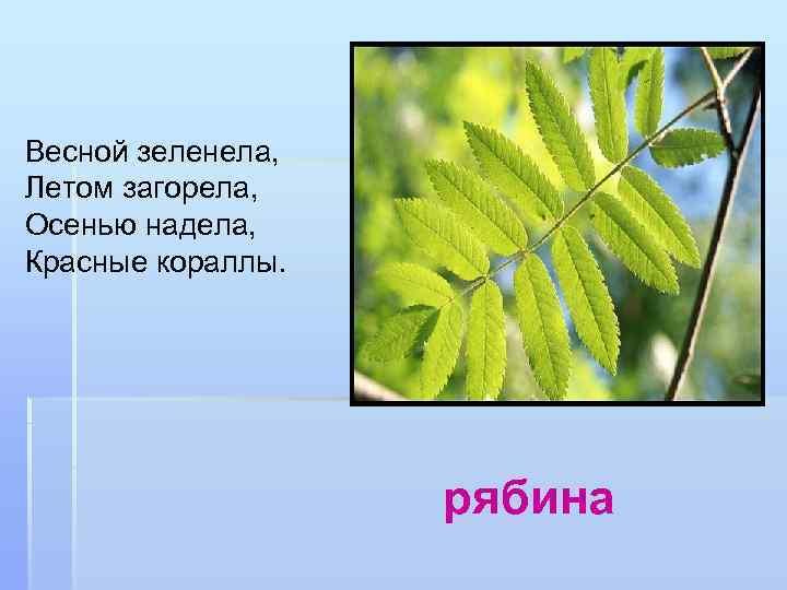 Весной зеленела, Летом загорела, Осенью надела, Красные кораллы. рябина