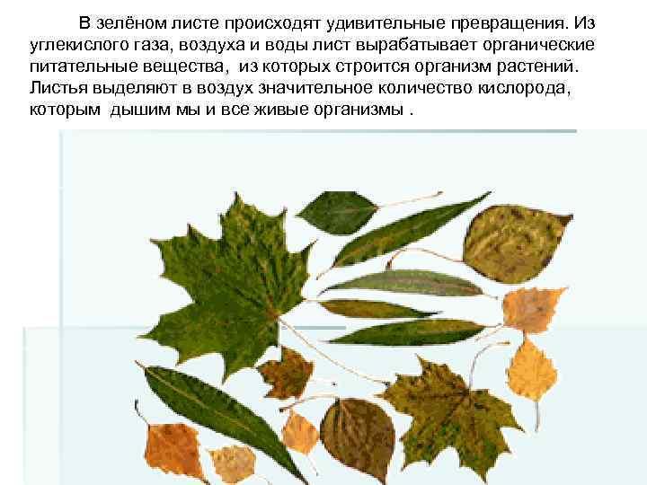 В зелёном листе происходят удивительные превращения. Из углекислого газа, воздуха и воды лист вырабатывает