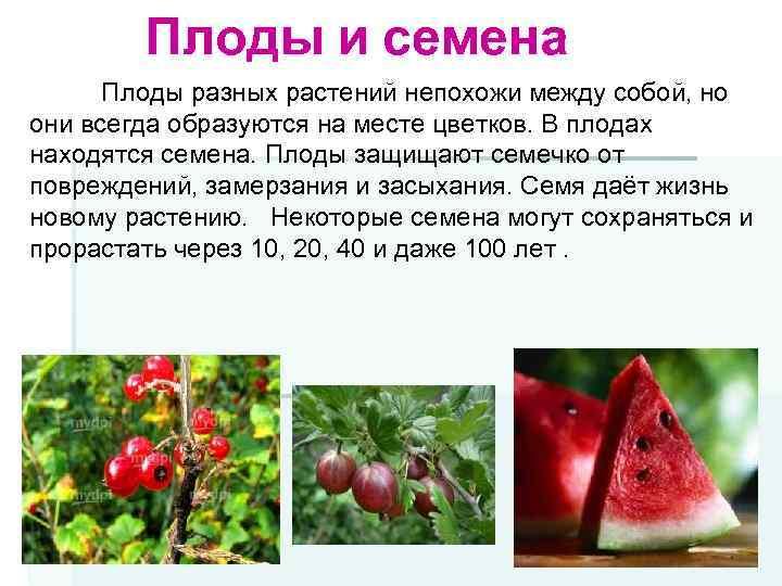 Плоды и семена Плоды разных растений непохожи между собой, но они всегда образуются на
