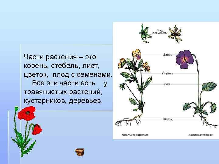 Части растения – это корень, стебель, лист, цветок, плод с семенами. Все эти части