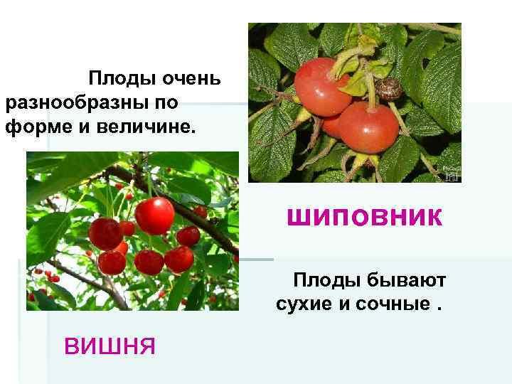 Плоды очень разнообразны по форме и величине. шиповник Плоды бывают сухие и сочные. вишня