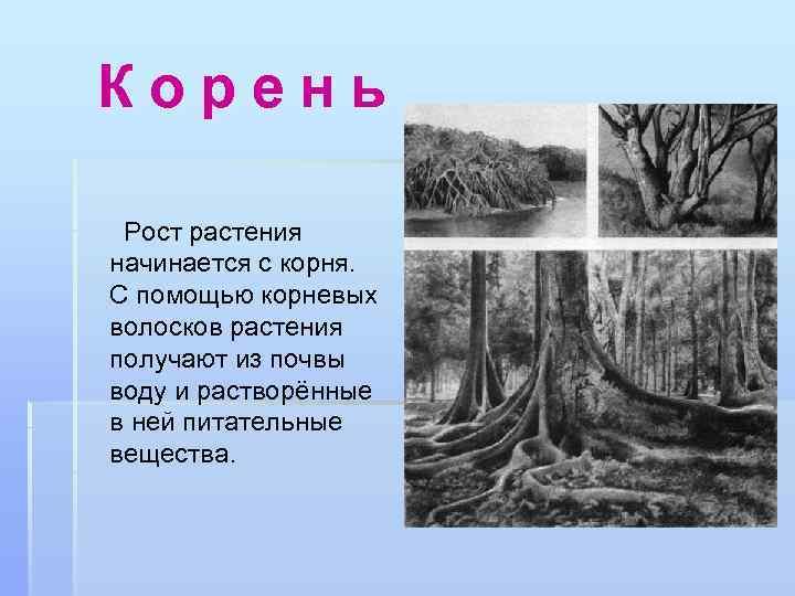 Корень Рост растения начинается с корня. С помощью корневых волосков растения получают из почвы