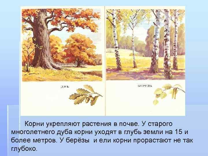 Корни укрепляют растения в почве. У старого многолетнего дуба корни уходят в глубь земли
