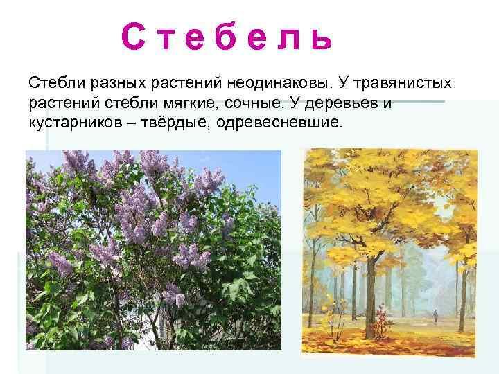 Стебель Стебли разных растений неодинаковы. У травянистых растений стебли мягкие, сочные. У деревьев и