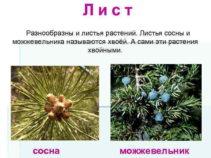 Лист Разнообразны и листья растений. Листья сосны и можжевельника называются хвоёй. А сами эти
