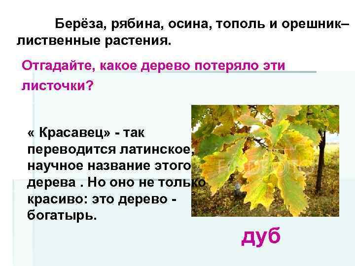 Берёза, рябина, осина, тополь и орешник– лиственные растения. Отгадайте, какое дерево потеряло эти листочки?