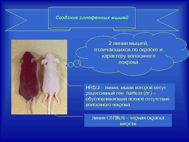 Создание аллофенных мышей 2 линии мышей, отличающихся по окраске и характеру волосяного покрова HRS/J