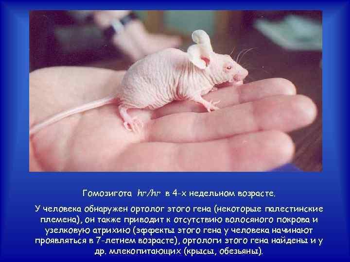 Гомозигота hr/hr в 4 -х недельном возрасте. У человека обнаружен ортолог этого гена (некоторые