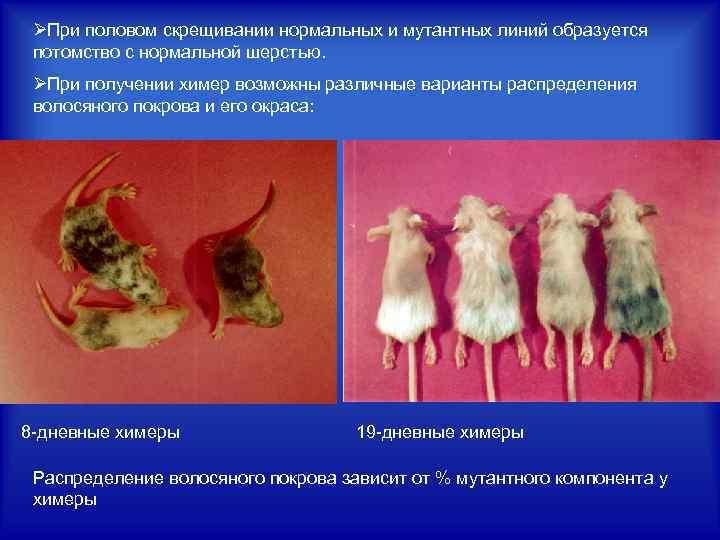 ØПри половом скрещивании нормальных и мутантных линий образуется потомство с нормальной шерстью. ØПри получении