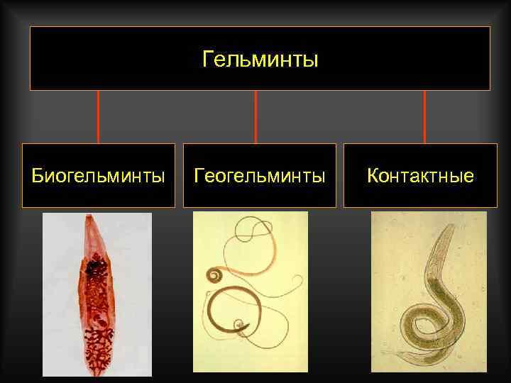 Гельминты Биогельминты Геогельминты Контактные