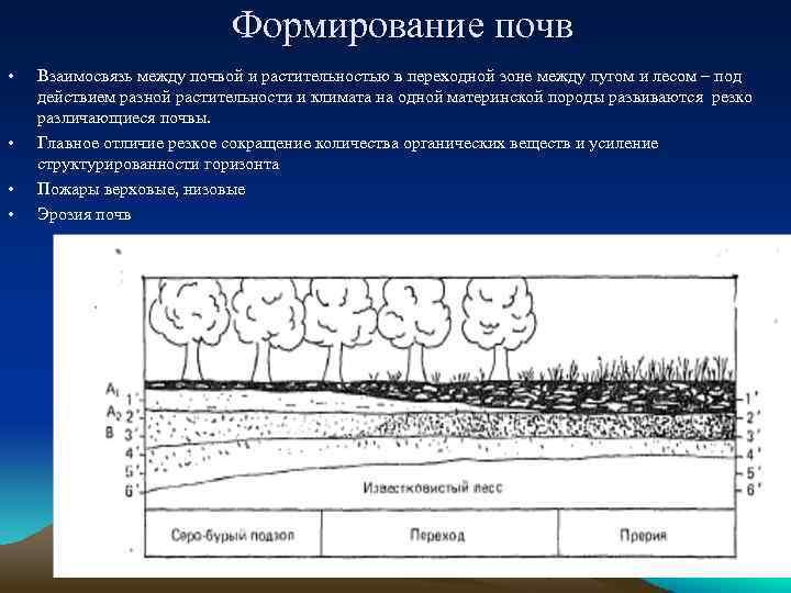 Формирование почв • • Взаимосвязь между почвой и растительностью в переходной зоне между лугом