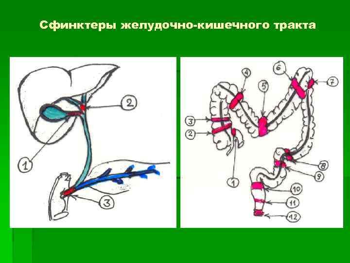 Сфинктеры желудочно-кишечного тракта