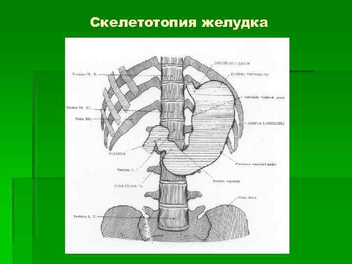 Скелетотопия желудка