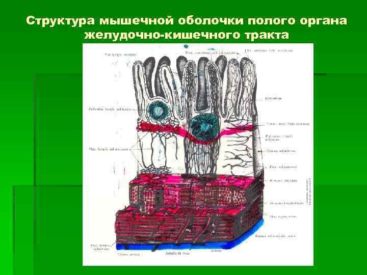 Структура мышечной оболочки полого органа желудочно-кишечного тракта