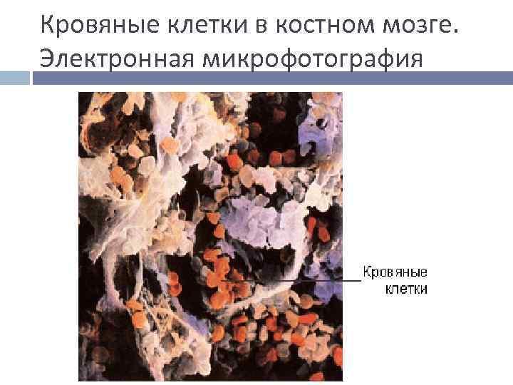 Кровяные клетки в костном мозге. Электронная микрофотография