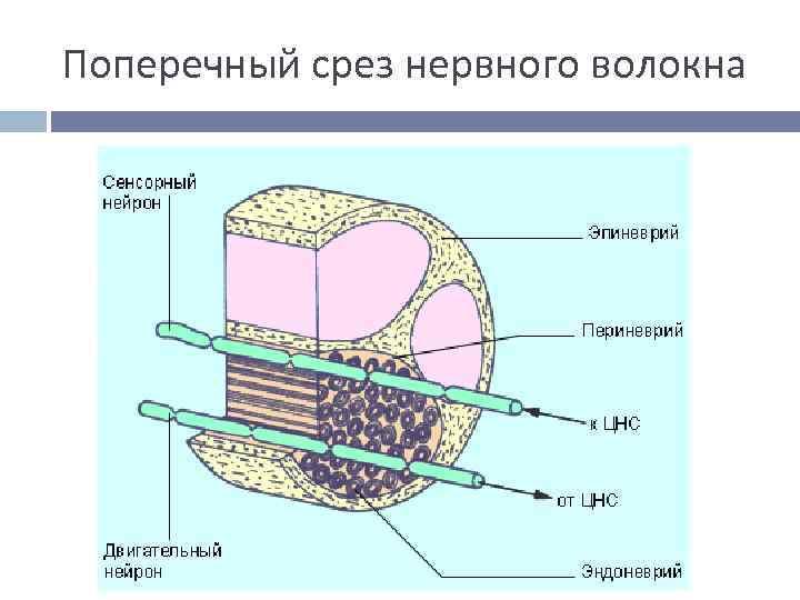 Поперечный срез нервного волокна