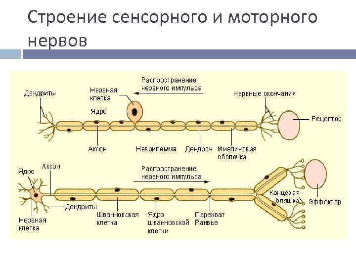 Строение сенсорного и моторного нервов