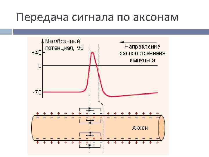Передача сигнала по аксонам