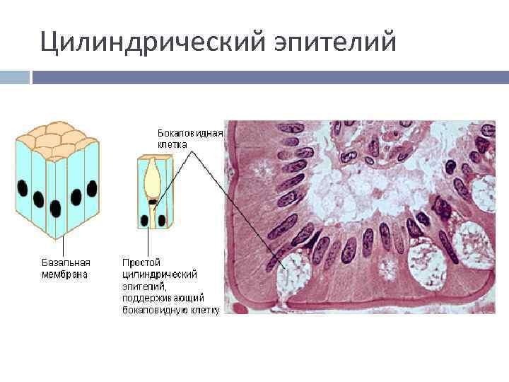 Цилиндрический эпителий