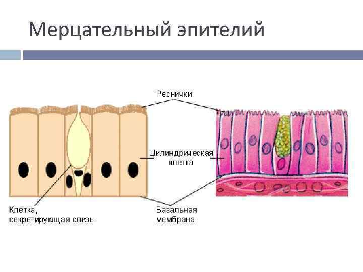 Мерцательный эпителий