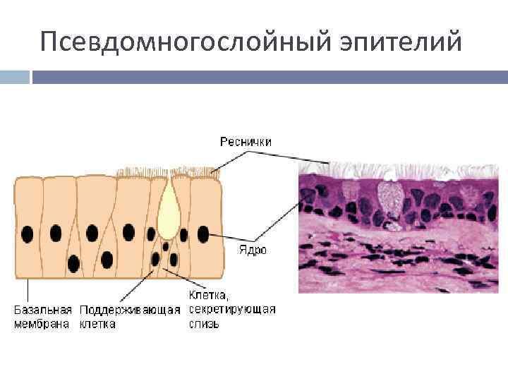 Псевдомногослойный эпителий
