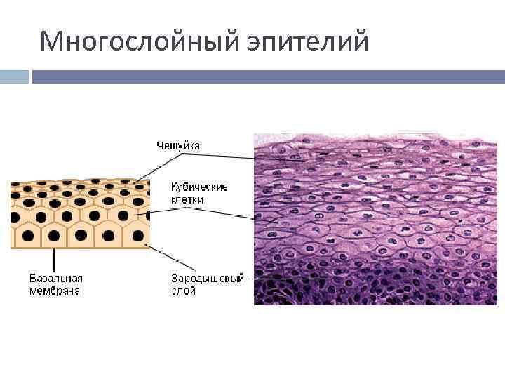 Многослойный эпителий