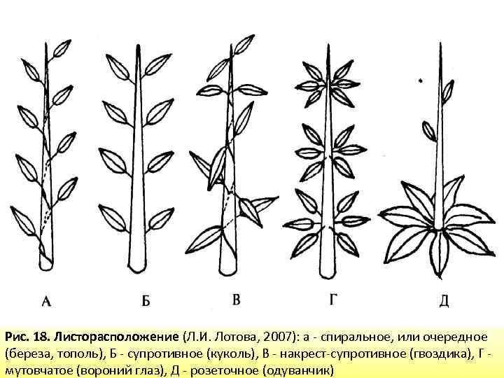 начала листорасположение у растений в картинках самом деле