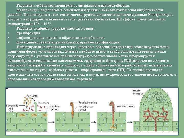 Развитие клубеньков начинается с сигнального взаимодействия: флавоноиды, выделяемые семенами и корнями, активизируют гены вирулентности