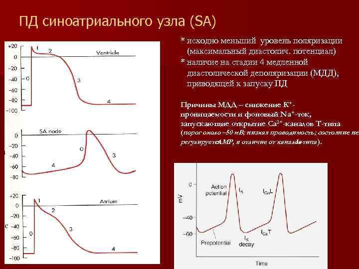 ПД синоатриального узла (SA) * исходно меньший уровень поляризации (максимальный диастолич. потенциал) * наличие