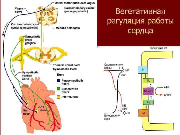 Вегетативная регуляция работы сердца