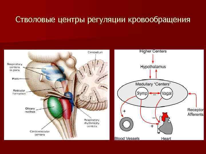 Стволовые центры регуляции кровообращения