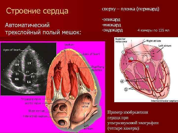 Строение сердца Автоматический трехслойный полый мешок: сверху – пленка (перикард) -эпикард -миокард -эндокард 4