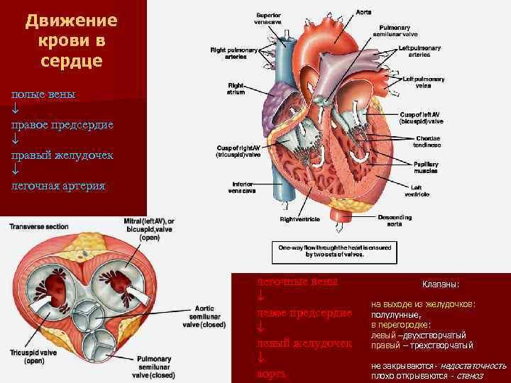 Движение крови в сердце полые вены правое предсердие правый желудочек легочная артерия легочные вены