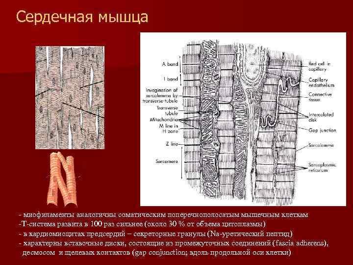 Сердечная мышца - миофиламенты аналогичны соматическим поперечнополосатым мышечным клеткам -Т-система развита в 100 раз