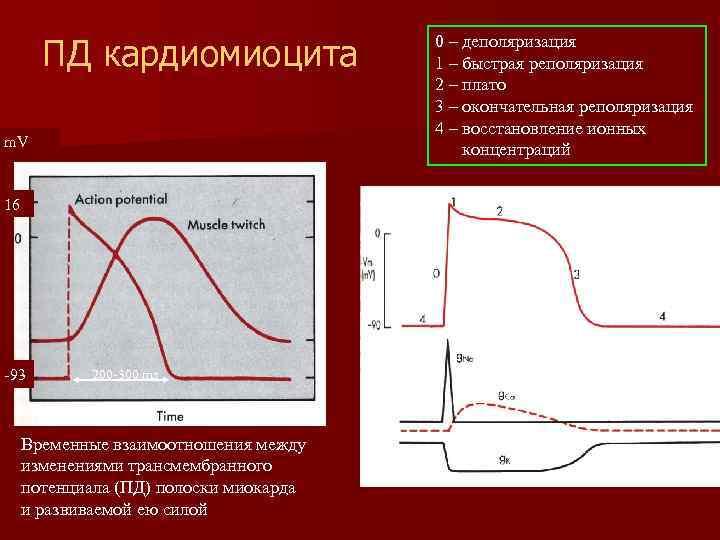 ПД кардиомиоцита m. V 16 -93 200 -300 ms Временные взаимоотношения между изменениями трансмембранного