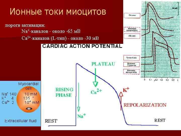 Ионные токи миоцитов пороги активации: Na+-каналов - около -65 м. В Ca 2+-каналов (L-тип)
