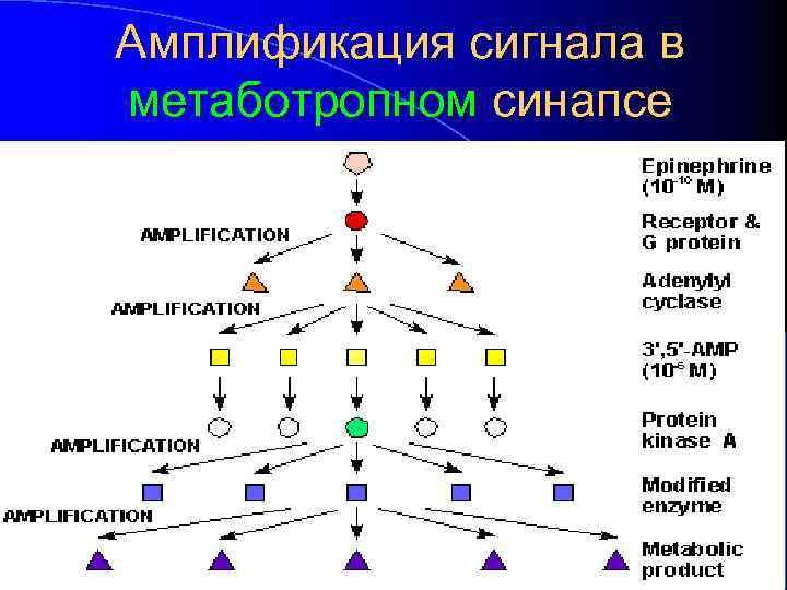 Амплификация сигнала в метаботропном синапсе